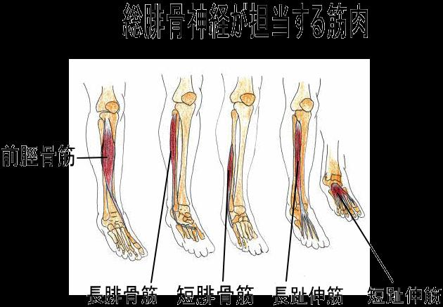 足関節背屈筋群