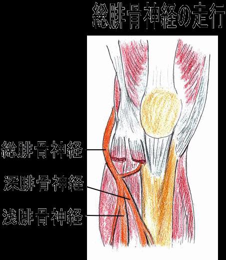 腓骨頭に付着している筋肉