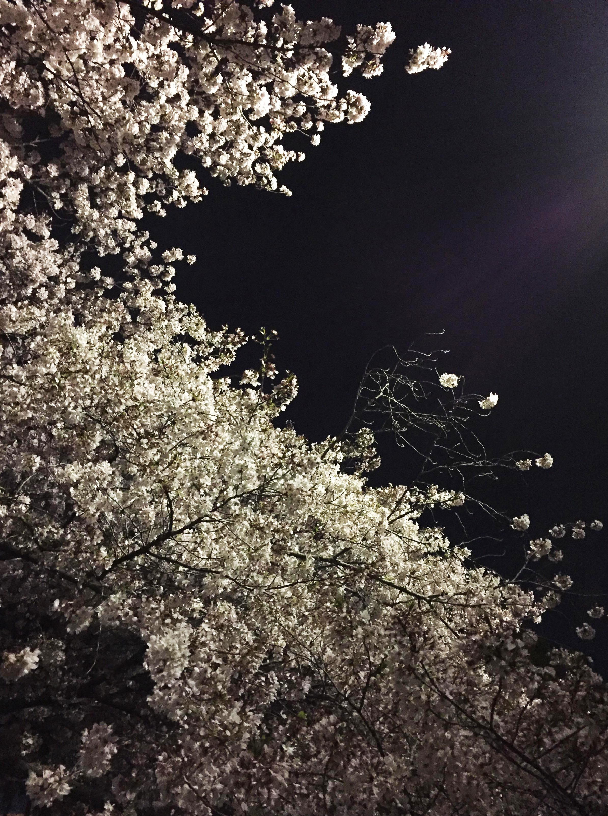 1704夜桜