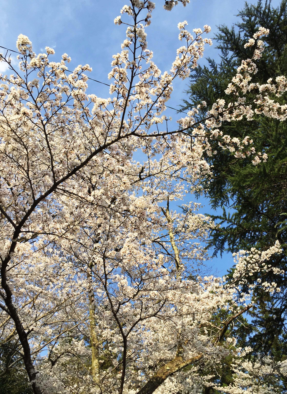 1704山桜