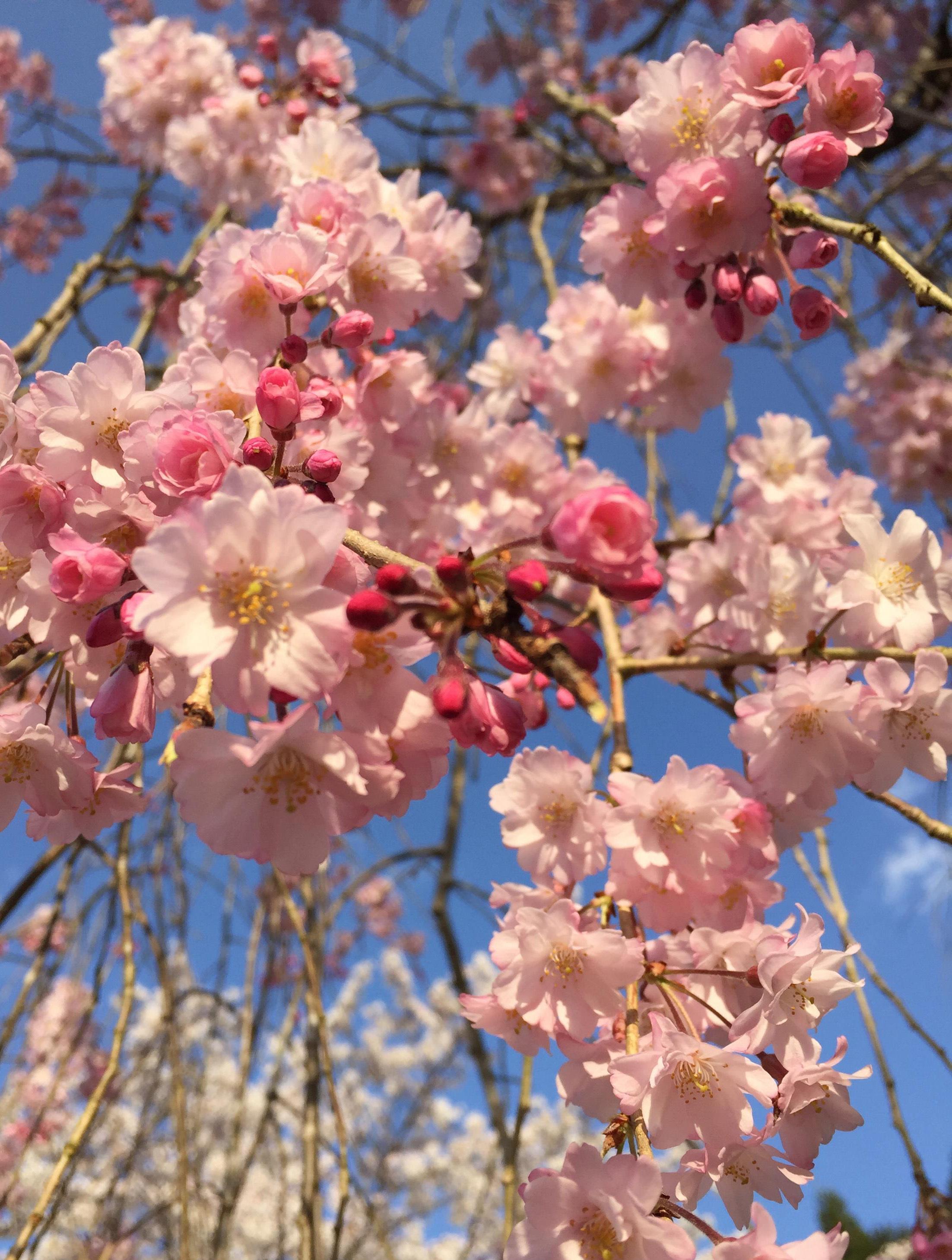 1407枝垂れ桜01