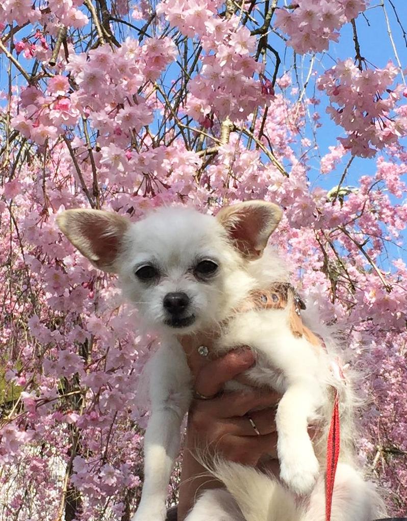 1704枝垂れ桜とこゆき