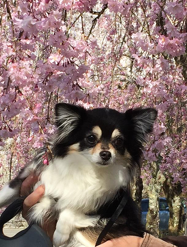 1704枝垂れ桜とあん