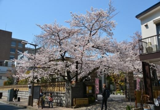 170404-122608-桜201702 (104)_R
