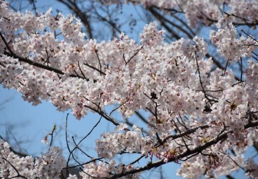 170404-122637-桜201702 (107)_R