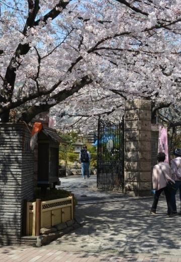 170404-123355-桜201702 (141)_R
