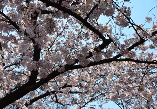 170404-122914-桜201702 (120)_R