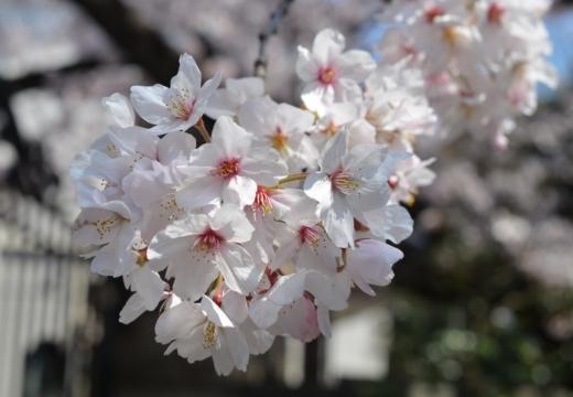170404-123223-桜201702 (129)_R