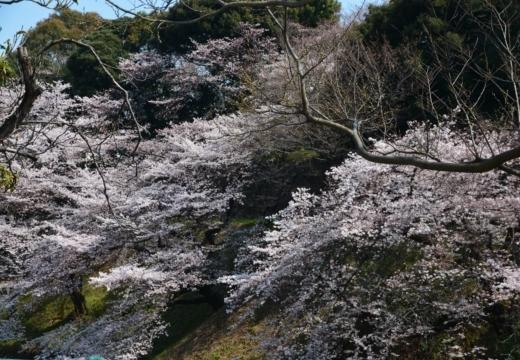 170404-131310-桜201702 (173)_R