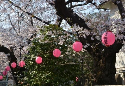 170404-142927-桜201702 (289)_R