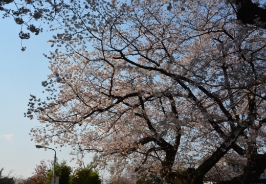 170404-144307-桜201702 (335)_R