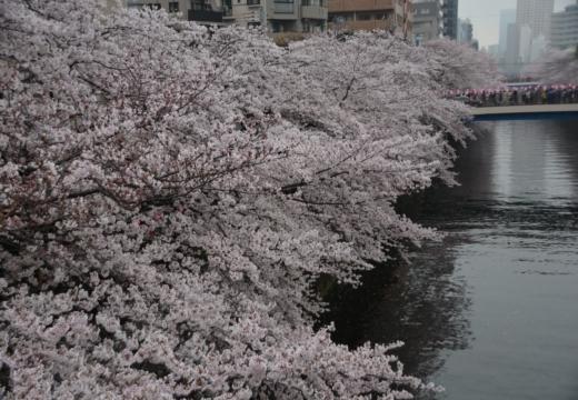 170408-150801-桜201704 (274)_R