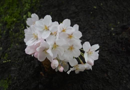 170408-135120-桜201704 (77)_R