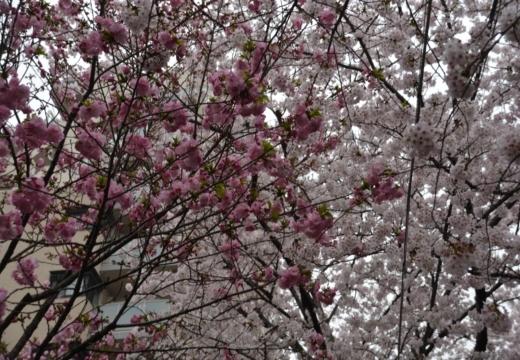 170408-135231-桜201704 (90)_R