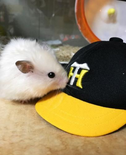 もちこ~虎帽子2