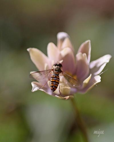 ユキワリ虫m032A3075 (1)