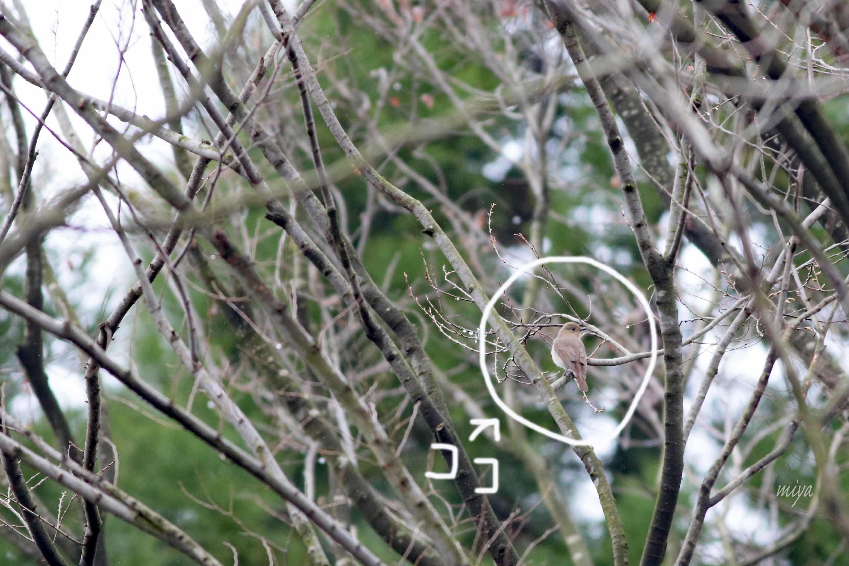 おおるり雌庭m032A5662