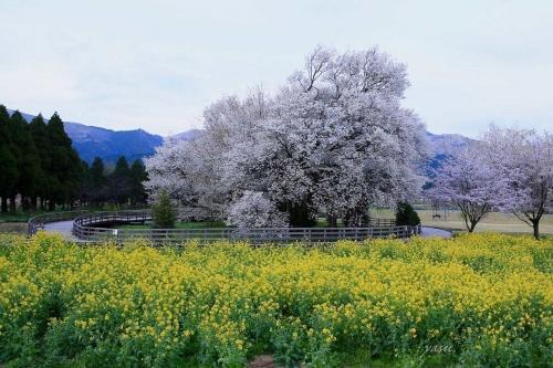 一心行桜y032A5828 (1)