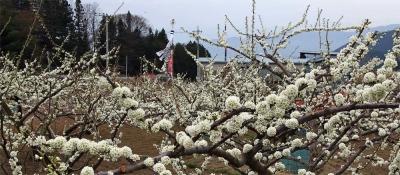 17_4_17山梨の桃の花2-1