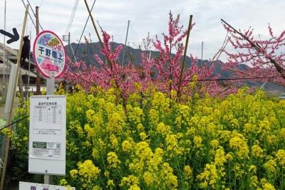 17_4_17山梨の桃の花3