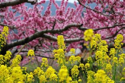 17_4_17山梨の桃の花4