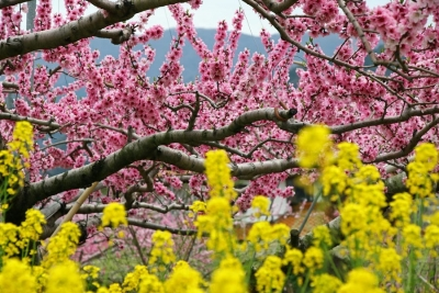 17_4_17山梨の桃の花5