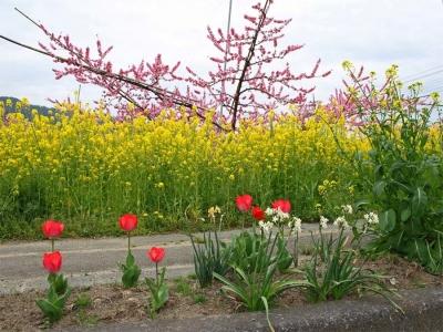 17_4_17山梨の桃の花7