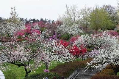 17_4_17山梨の桃の花11