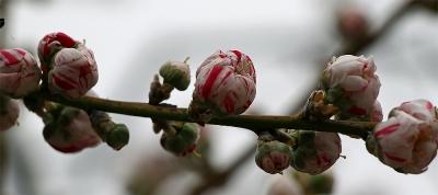 17_4_17山梨の桃の花12