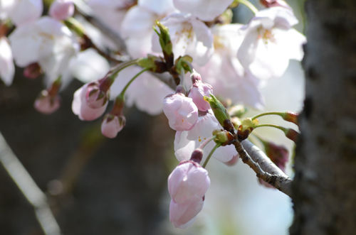2017-04-04-桜ソフトピア-071