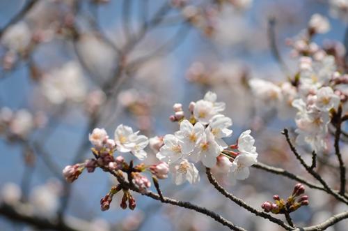 2017-04-04-桜ソフトピア-006