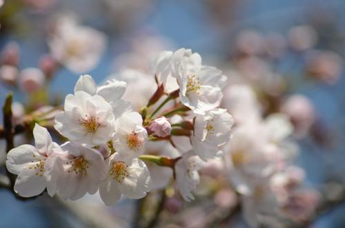 2017-04-04-桜ソフトピア-009