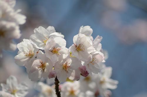 2017-04-04-桜ソフトピア-011