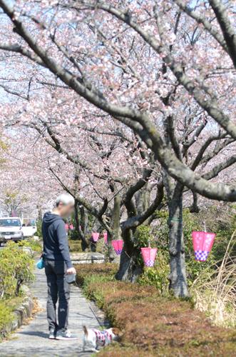 2017-04-04-桜ソフトピア-001