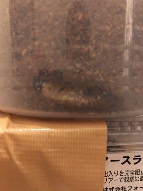 ミラビリスヒラタ蛹化