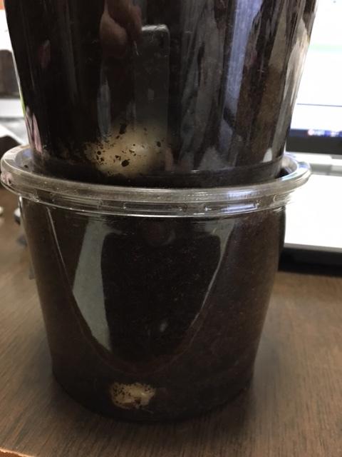 グラシロ前蛹