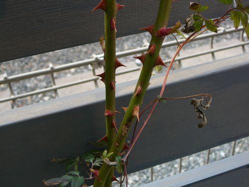 バラとクレマ植えたど~