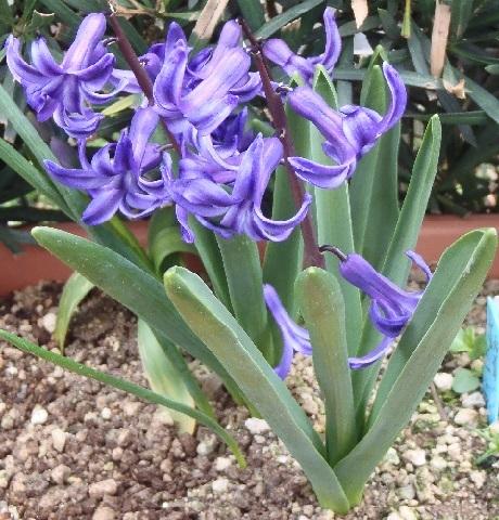 Hyacinthus_bluepurple_2_2017.jpg