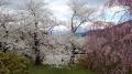 桜と将棋と、あと団子かな