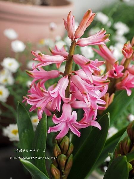ヒヤシンスと花かんざし