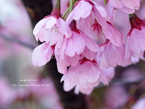 ぴんくの桜