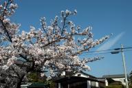 満開の桜2017