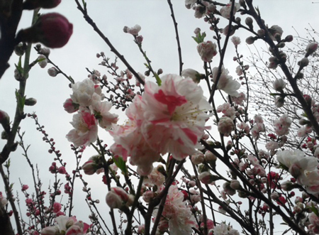 yamauti-sakura2.jpg
