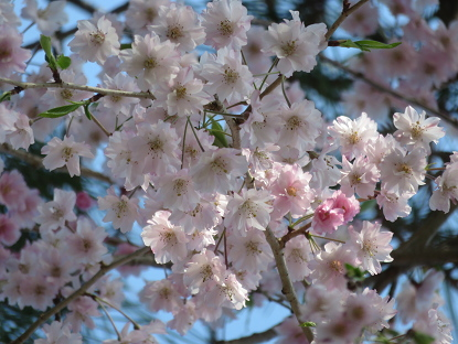 八重咲き枝垂れ桜