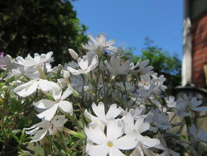 芝桜 ホワイト