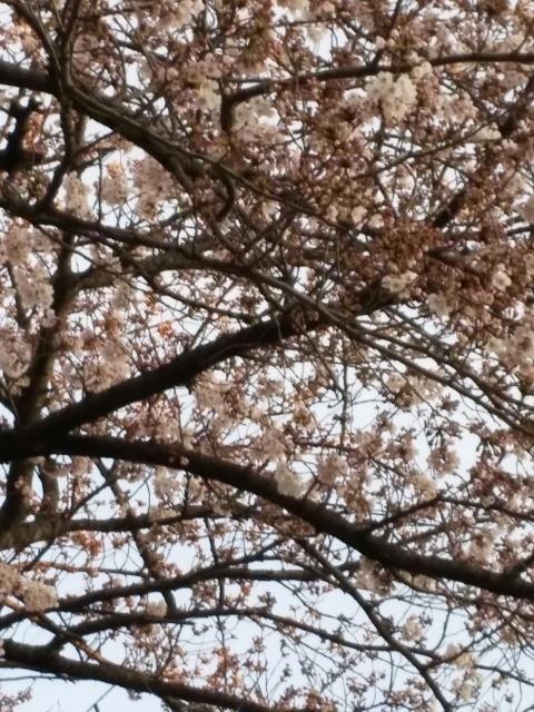 201704桜まつり01