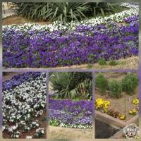 日比谷公園 紫と白のパンジー