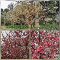 日比谷公園 木と梅の木