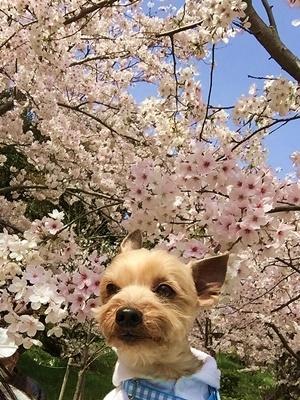 桜とノア@2017