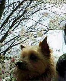 ロビンと桜